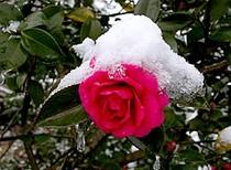 ■四季の花々 12月(師走)山茶花