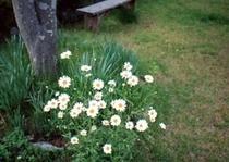 フランス菊
