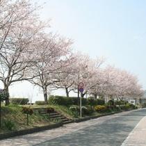 鵜飼公園の桜