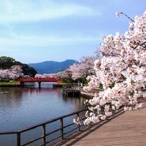 甘木公園の桜(4月頃)