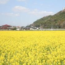 道の駅原鶴の菜の花畑(3月頃)