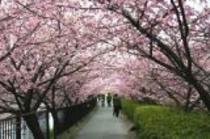 河津桜まつり1