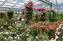 ローズガーデン/シーズン中ハウスの中はバラの香りでいっぱいです