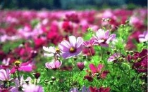 五馬高原/秋にはコスモスがあたり一面咲き誇ります