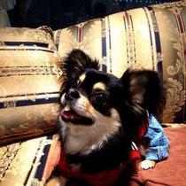 Doggies Chihuahua