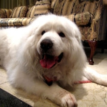 Doggies Great Pyrenees