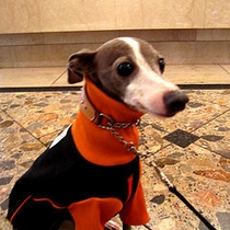 Doggies Italian Greyhound