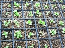 自家菜園の無農薬野菜「苗も作ります」