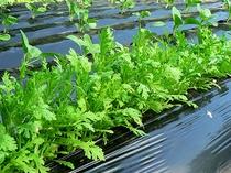 自家菜園の無農薬野菜「春菊」