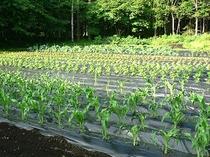 自家菜園の無農薬野菜!当館の前にあります。
