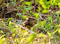 ペンション裏の遊歩道では、シマリスに出会えますよ。野鳥との会話も楽しめ早朝散歩し最適!