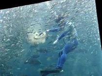 田海中水族館ダイバーが餌付けをしています。大人から子供まで楽しめますよ
