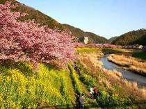 桜と菜の花のみごとなコントラスト
