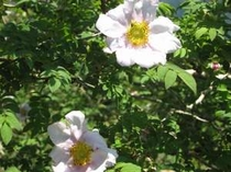 金時山から乙女峠に下る尾根上に可憐に咲いていました!