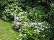 当館の庭に咲いたあじさいです、とてもキレイですよ!