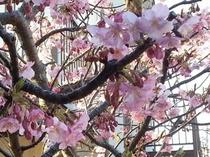 みなみの桜 アップ