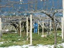 梨畑春の準備