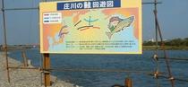 鮭の回遊図