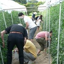 朝の妙高高原のトマト畑