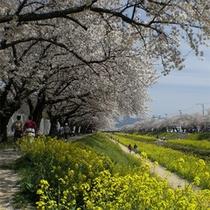 佐奈川の桜と菜の花