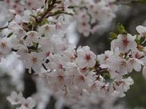 桜(新府城址)
