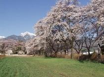 真原桜並木