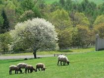 まきば公園の羊とヤマナシの木