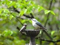 庭にやって来る野鳥(ゴジュウカラ)