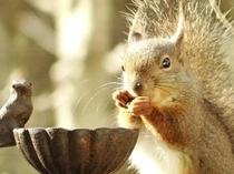 テラスで餌を食べる野生のリス