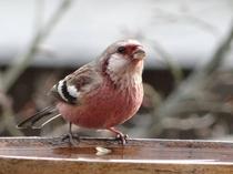 庭にやって来る野鳥(ベニマシコ)