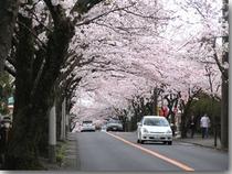 伊豆高原の桜