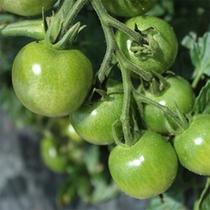 自社農園で採れる野菜は低農薬。美味しく安心なお野菜です。