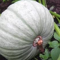 美味しいかぼちゃが立派に。(グレイス農園)