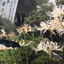 *【白い彼岸花にとまる黒いアゲハチョウ】
