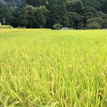 一の瀬【近隣の稲】周辺にはのどかな風景が広がっています。