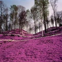◆東藻琴の芝桜◆毎年GW後にピンクのジュータンが広がります