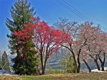 残雪&桜&赤