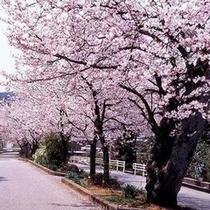 ■桜が彩る山代の春