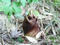 毎年春に当館の竹林から顔を出すたけのこ。