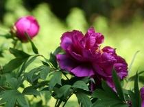 当館のお庭で咲く牡丹。毎年きれいに咲いてくれます!