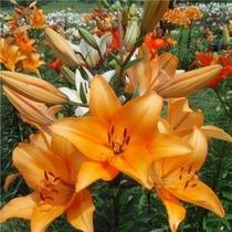 ハンターマウンテンゆりパーク。色とりどりの大きなゆりの花の数々。