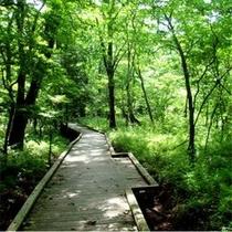 夏のヨシ沼。緑の木々が美しい夏、森林浴をしながらのウォーキングでリフレッシュ。