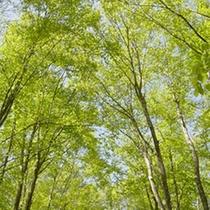 樹齢80年程のぶなの美人林が