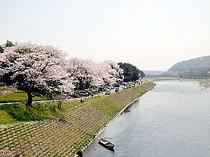 ■観光・アクセス:さくら満開(相模川)