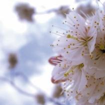 宇奈月公園の桜