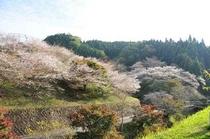 小原四季桜2