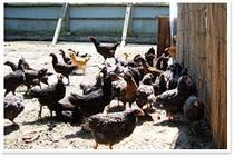 みつた荘のこだわり②地鶏を地飼しています