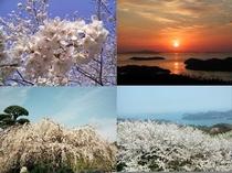 枝垂桜と朝日