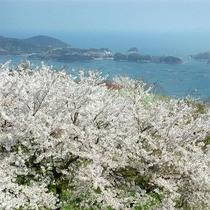 青い海を背景に花開く2500本もの桜、桜、桜!!!