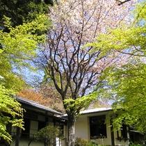 *離れ貴賓室「錦華亭・八集案」淡い桃色の山桜越しに望む、離れ貴賓室。